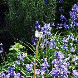 Fireweed* - Bluebells