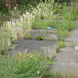 Fireweed* - Daisygate, or How to Stop Worrying about Weeds