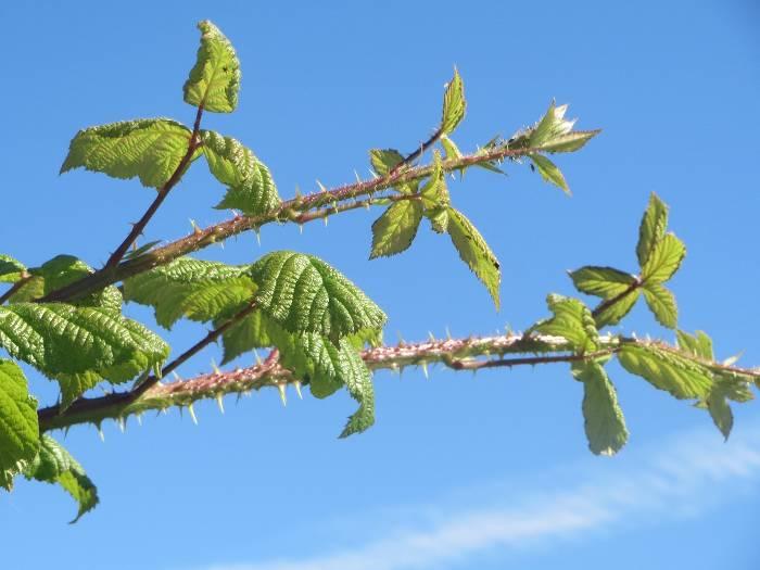 fireweed-daisygate2