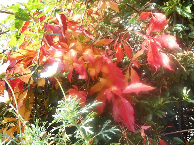 Fireweed* - Autumn Leaves