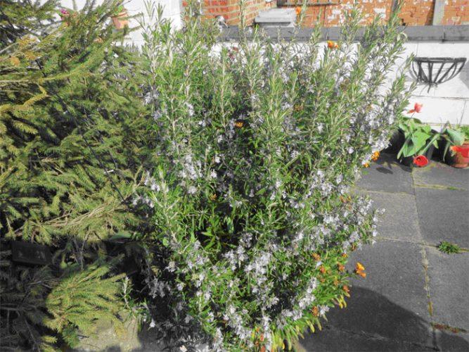 Fireweed* - Rosmarinus Officinalis