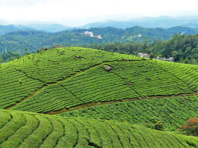 Tea plantation workers in South India